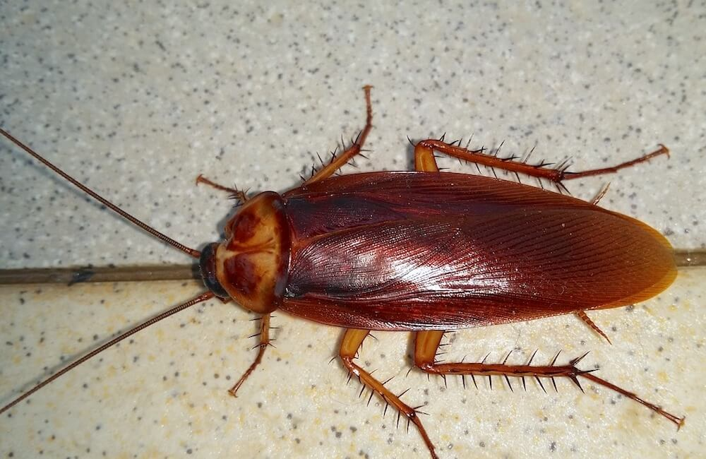 palmetto bug - American cockroach