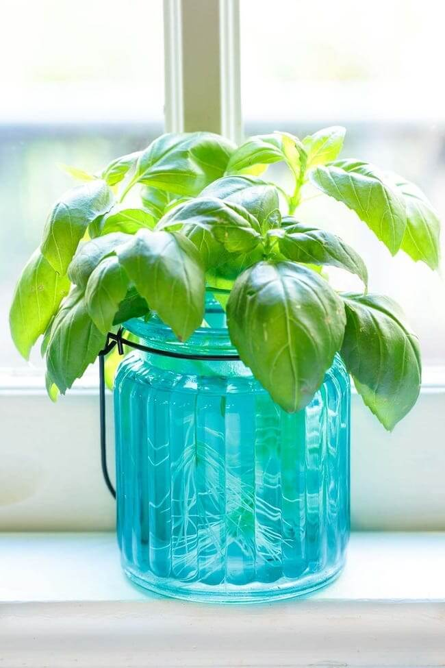 regenerating basil roots in water