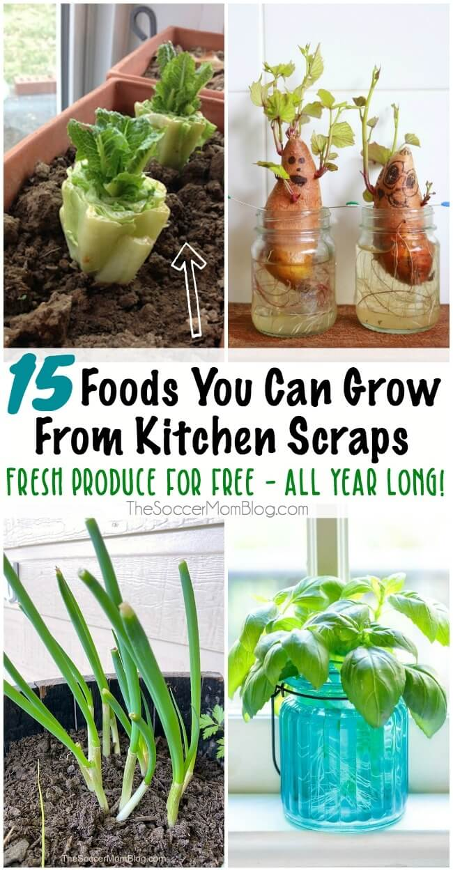 Don't throw away those old potatoes! Or those romaine lettuce ends! There are lots of foods you can regrow from scraps — it's easy, free, and you don't need a lot of space! Keep reading for a list of 15 plants to grow from scraps to keep fresh produce ready all year long!