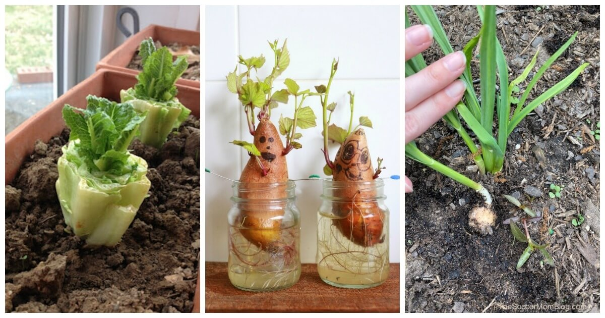 Don't throw away those old potatoes! Or those romaine lettuce ends! There are lots of foods you can regrow from scraps — it's easy and free!