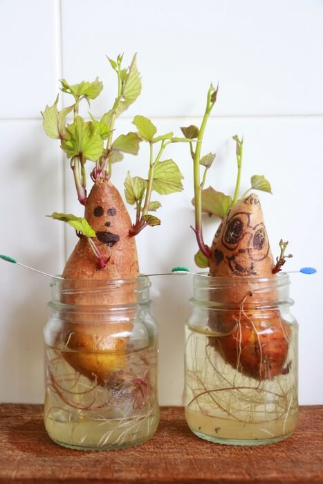 sprouting sweet potatoes in a jar of water