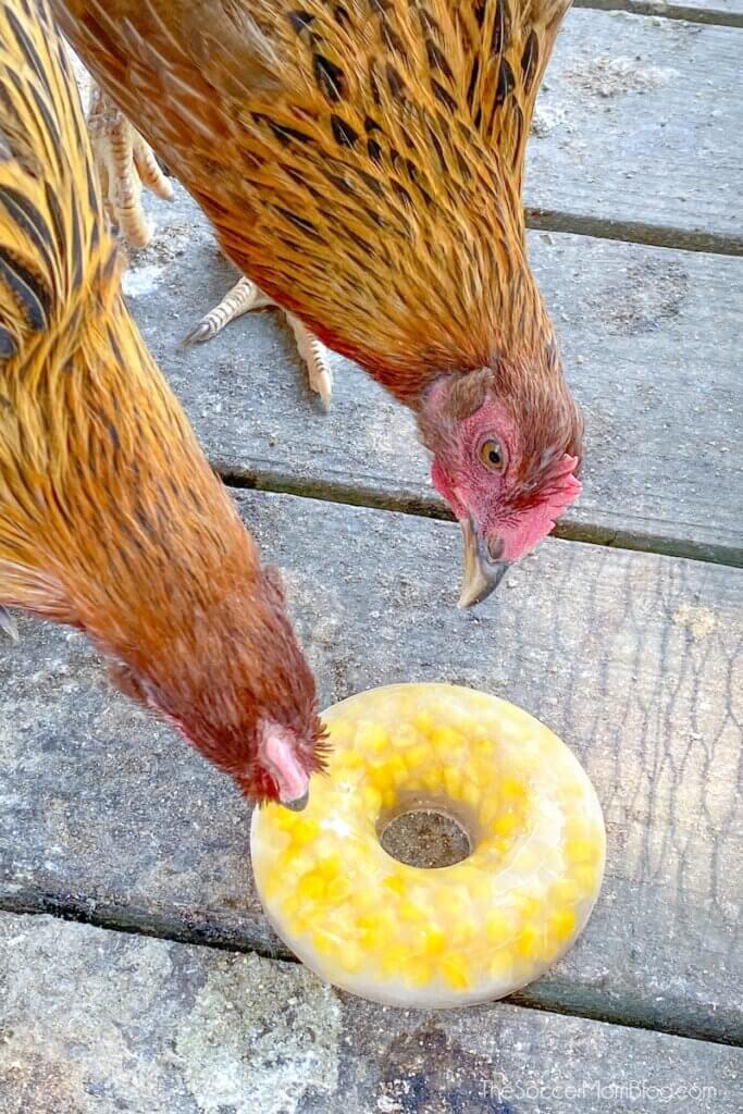 chickens eating frozen corn treat