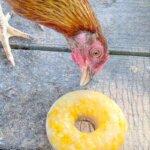 chicken eating frozen corn