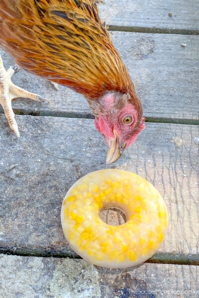 chicken eating frozen corn