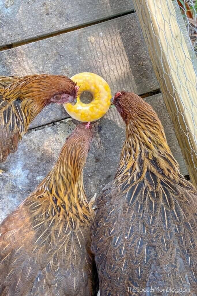 chickens eating frozen corn