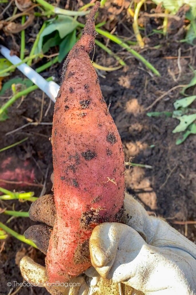 fresh sweet potato harvested from garden